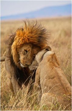 Male and Female Lion Showing Affection in Serengeti, Tanzania Beautiful Cats, Animals Beautiful, Cute Animals, Gato Grande, Lion Love, Tier Fotos, African Animals, African Safari, Big Cats