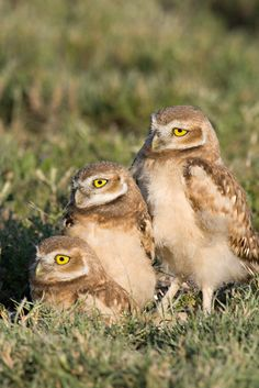 Burrowing Owl (Athene cunicularia) juveniles. Photo by Greg Lasley.