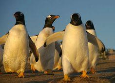 Почему пингвины не мерзнут в холод?