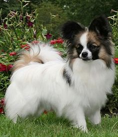 Papillon dog breed info,Pictures,Characteristics,Hypoallergenic:No