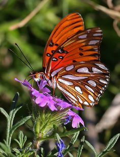 Gulf Fritillary | 'tea4tee' What a beauty. I'd love to see it wit it's wings outstretched.