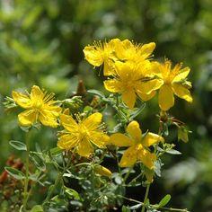 gula vilda blommor