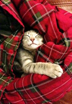 Cat love and tartan blanket Animals And Pets, Baby Animals, Funny Animals, Cute Animals, Animal Memes, Cute Kittens, Cats And Kittens, Ragdoll Kittens, Tabby Cats