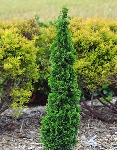 Degroot's Spire Cedar (6.5m X 2m) Features a rich green foliage that takes on a purpleish cast in the winter. Upright growth habit.  Full sun to part shade. Canadale Nurseries Ltd.