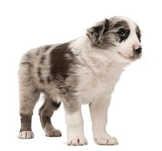 See only the cutest & most adorable pictures of border collie puppy dogs right here . More puppy pics are added almost daily for your enjoyment . Puppy Pics, Puppy Pictures, Border Collie Pictures, Adorable Pictures, Border Collie Puppies, Puppy Breeds, Dogs And Puppies, Corgi, Mad