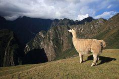 A llama at Machu Picchu,Peru by kukkaibkk, via Flickr