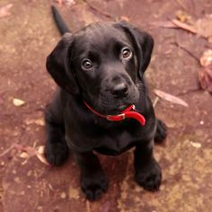 Labrador Retriever Sato Mix