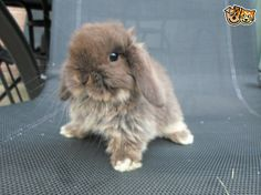 Chocolate Otter mini lop bunny ready 18th July   Tring, Hertfordshire   Pets4Homes