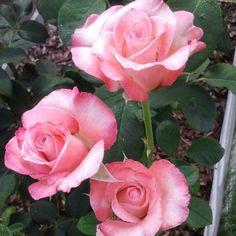 Gemini Hybrid tea roses blooming in my garden this week.
