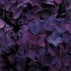 Deep Purple Hydrangeas