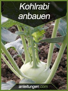 Kohlrabi anbauen - Kohlrabi ist ein beliebtes Gemüse für den eigenen Garten. In dieser Anleitung wird dir erklärt, wie du ihn richtig anbaust.
