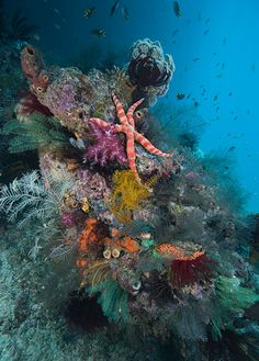 Coral Reefs - Sea star and featherstars (Raja Ampat, Papua, Indonesia) by David Hall Underwater Sea, Underwater Photos, Underwater Photography, Film Photography, Street Photography, Landscape Photography, Nature Photography, Fashion Photography, Wedding Photography
