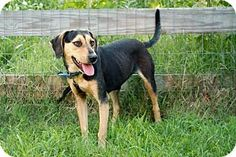 Hagerstown, MD - Beagle/Hound (Unknown Type) Mix. Meet LIBBY-FOSTER NEEDED, a dog for adoption. http://www.adoptapet.com/pet/18759001-hagerstown-maryland-beagle-mix