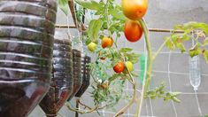 Growing Tomatoes From Seed, Growing Vegetables In Pots, Regrow Vegetables, Tomato Garden, Tomato Plants, Hydroponic Gardening, Container Gardening, Tomato Pruning, Backyard Farming