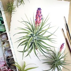 """""""I've finished this painting of a beautiful Tillandsia aeranthos - Watercolor botanical illustration. Watercolor Plants, Watercolor Sketch, Watercolor Illustration, Watercolor Paintings, Watercolors, Plant Painting, Plant Drawing, Botanical Drawings, Botanical Prints"""
