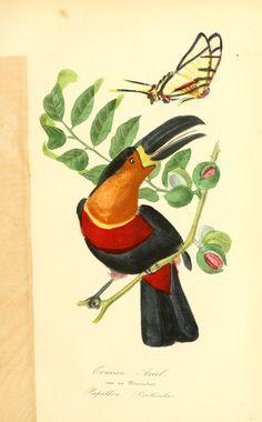 Ramphastos vitellinus. Histoire naturelle des oiseaux : suivant a classification de Isidore Geoffroy-Saint-Hilaire  Paris :L. Curmer,1855.  Biodiversitylibrary. Biodivlibrary. BHL. Biodiversity Heritage Library