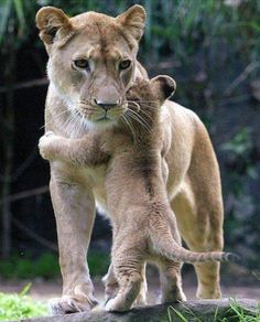I wuvs my mommy. #BigCatFamily