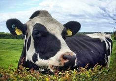 I am absolutely frightened to death of cows, and I am afraid, this is as close as I get.  But if you look closely, I am sure she is smiling at me, maybe a gesture of friendship?