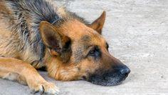 Hond detecteert schildklierkanker via urine 10 maart 2015 om 13:22 door ANP en Metro Hond detecteert schildklierkanker via urine Een duitse herder - foto ter illustratie. Foto: Colourbox Honden worden vaak omschreven als 'de beste vriend van de mens'. Een nieuwe studie lijkt die omschrijving te versterken. Volgens een onderzoeksteam van de University of Arkansas for Medical Sciences (UAMS) kan reddingshond Frankie schildklierkanker vaststellen op basis van de urine van een persoon. Dat meldt…
