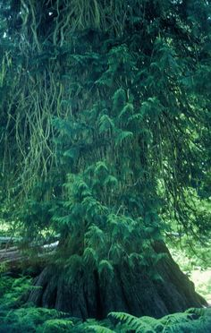 The Big Cedar - Photo taken in Clearwater County, ID, USA