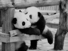 The cuttest pandas in the world