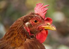 """One day soon, nearly every egg you eat will be """"cage-free."""" A long campaign by…"""