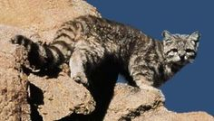 Andean Mountain Cat. The mountain cat is found in the high regions of Bolivia, Peru and Chile, ranging from the dry scrublands lower down the mountains to beyond the tree line at around 16,000 feet. The mountain cat is slightly larger than a big domestic cat, growing up to 24 inches in length with an equally long tail that measures 70% of its body length. Due to the remoteness of its habitat, little is known about the hunting and social habits of the mountain cat.