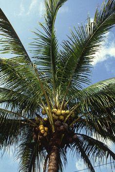 Fulles del cocoter (Cocos nucifera)