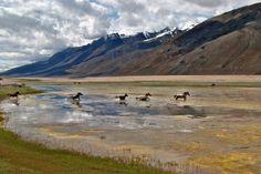 World view: all the pretty horses in Ladakh, India