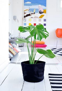 the plant, Monstera