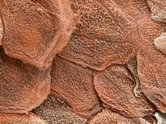 Seen here is the cells of the largest organ in the human body: the skin. This scanning electron micrograph shows the epidermis, which is the tough, outermost coating of the skin, formed by overlapping layers of dead skin cells that are continuously removed and replaced by the living cells underneath. (via)