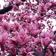 Types of Magnolia Trees and basic information on growing.