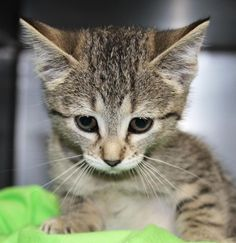 Meet Plum, a Petfinder adoptable Domestic Short Hair Cat | Saint Joseph, MO | #33336 PLUM is a domestic short hair light grey tabby 2 month old, 2.75 lb kitten that came to our...