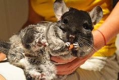 Furnishing adequate housing, a good diet, and considerate care will minimize disease in chinchillas, as with any other animal.