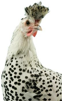 Spitzhaubens Chicken Breed, They can't be kept in a cage without getting stressed and harming themselves, but gosh these wild beauties could be fun if you had enough land to let them roam.