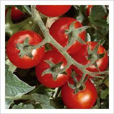 Organic Tomatoes Seeds, Tomatoes Seeds