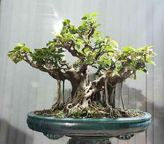 Bonsai Ficus, Bonsai Art, Bonsai Garden, Beautiful Places, Tropical, Gardening, Gardens, Drawings, Bonsai Trees