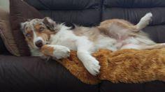 hey you took my spot! Mini Australian Shepherds, Australian Shepherd Puppies, Aussie Dogs, Cute Animals Puppies, Baby Animals, Cute Dogs, Best Dog Breeds, Best Dogs, American Shepherd
