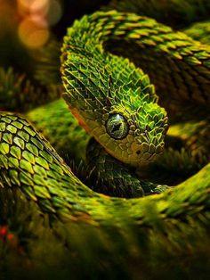 Animals snakes viper reptiles world wildlife Serpent Venimeux, Serpent Animal, Amazing Animals, Animals Beautiful, Beaux Serpents, African Bush Viper, Reptiles Et Amphibiens, Snake Wallpaper, Hd Wallpaper