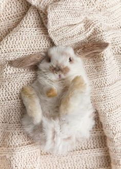 Sweet baby lop bunny. @Grace Farson, doesn't he look just like Spencer? #bunny