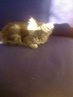 Maine Coon Katze Nero genießt die Sonne Mystery, Maine Coon, Cats, Animals, Maine Coon Cats, Sun, Kunst, Gatos, Animales