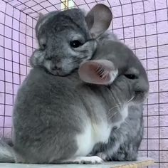 These adorable little angels are chinchillas Chinchillas, Beautiful Cats, Animals Beautiful, Chinchilla Cute, Animals And Pets, Funny Animals, Cute Rats, Cute Animal Videos, Cute Little Animals