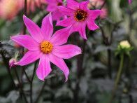 Some of the most perfect cultivars of every imaginable flower and plant show up at the annual Chelsea Flower Show.