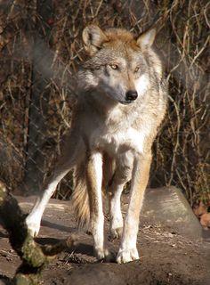 Mexican Wolf Stock 10 by HOTNStock.deviantart.com on @DeviantArt