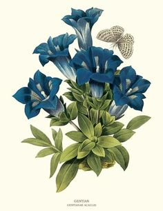 Gentian illustration by Pierre-Joseph Redoute - via Charting Nature.  In Victorian England giving this flower sent a flattering message of finding someone lovely.  http://www.chartingnature.com/flower-print.cfm/Gentian-botanical-art-print/6754  #redoute #botanicalart #vintageart #flowerart  #flowerprint #floralprint #floralprint