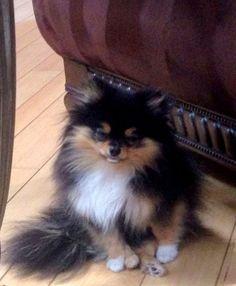 Tri Pomeranian -- looks like a Calico cat!!