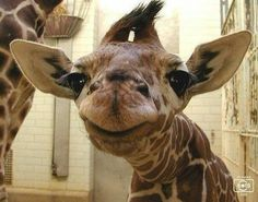 Smiling giraffe baby