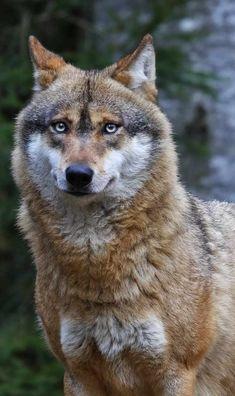 Vijf jaar cel en een half miljoen euro boete voor wie wolvin Naya doodschiet8