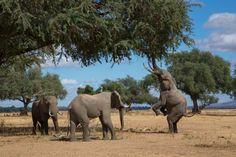 Elephant wars for Kruger | Politics | The Earth Times
