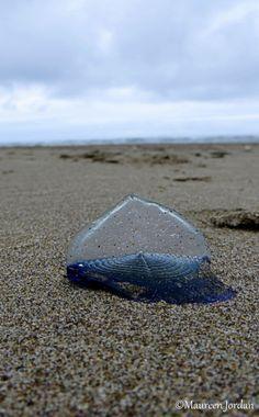 Velella Jellyfish, Cannon Beach, Oregon
